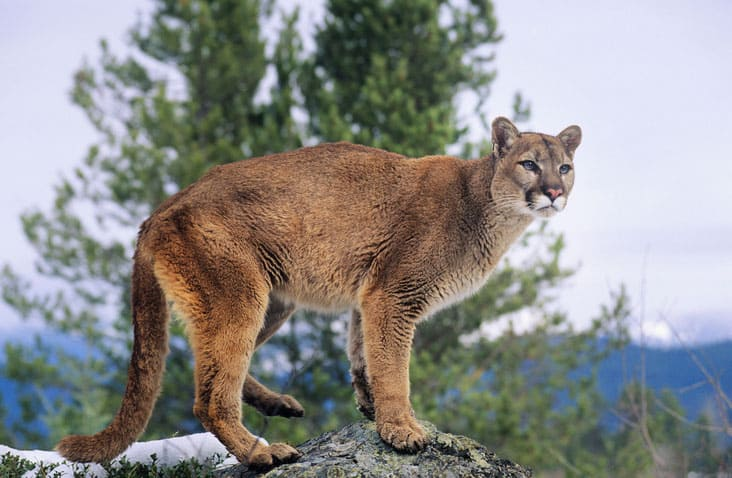 Mountain Lion Before Attack